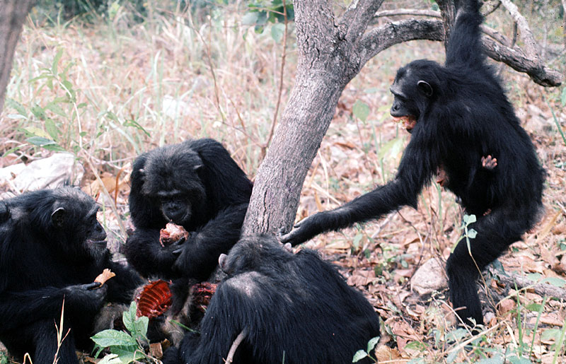 chimp_begging